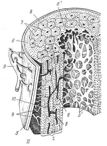 I — схема строения длинной