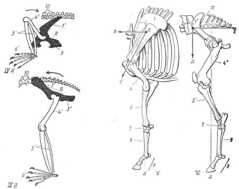 Кости и суставы тазовой конечности коровы болит тазобедренный сустав когда сижу